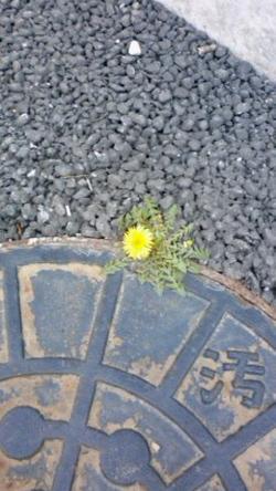 マンホールに咲くたんぽぽ.jpg