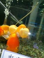 25.10.05ブログ山下金魚.jpg