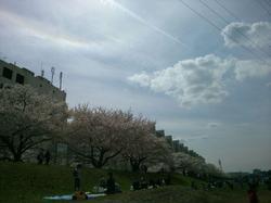 26.4.20ブログ柳瀬川サクラ.jpg